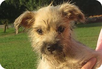 Schnauzer (Miniature)/Shih Tzu Mix Puppy for adoption in Salem, New Hampshire - Chan
