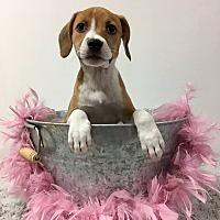 Adopt A Pet :: Angelite - Joliet, IL