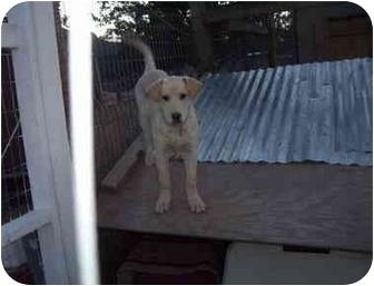 Labrador Retriever/Shepherd (Unknown Type) Mix Dog for adoption in Pie Town, New Mexico - GODIVA
