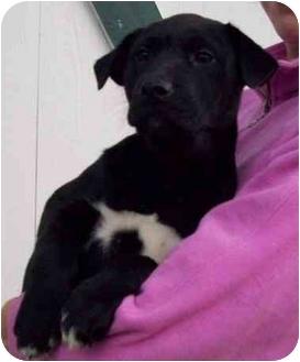 Labrador Retriever Mix Puppy for adoption in Chapel Hill, North Carolina - India