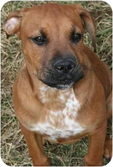 Boxer/Pointer Mix Puppy for adoption in Saint Charles, Missouri - Valentino