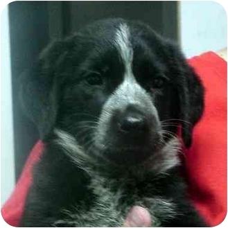 Australian Shepherd Mix Puppy for adoption in Manassas, Virginia - Jelly bean