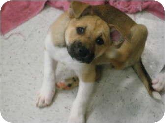 Akita/Collie Mix Puppy for adoption in Pinehurst, North Carolina - Pebbles
