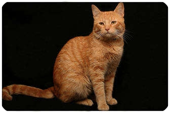 Domestic Shorthair Cat for adoption in Sterling Heights, Michigan - Ryder - ADOPTED!