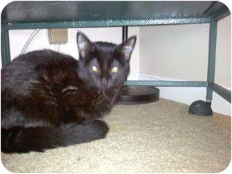 Domestic Shorthair Cat for adoption in New Baltimore, Michigan - Dominic