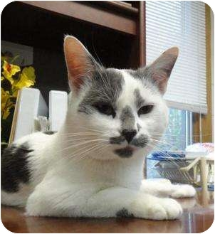 Domestic Shorthair Cat for adoption in Spruce Pine, North Carolina - Kooky