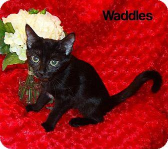 Domestic Shorthair Kitten for adoption in Bentonville, Arkansas - Waddles