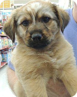 Shepherd (Unknown Type) Mix Puppy for adoption in Birmingham, Alabama - Gypsy