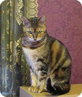Bengal Cat for adoption in Davis, California - Callisto