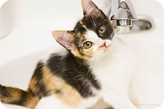 Calico Kitten for adoption in Bulverde, Texas - Patches
