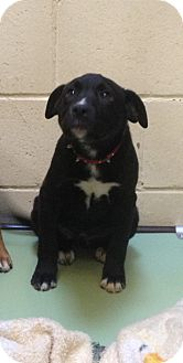 Retriever (Unknown Type) Mix Puppy for adoption in South Haven, Michigan - Pepper