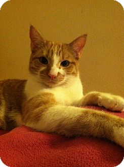 Domestic Shorthair Kitten for adoption in Los Angeles, California - GRANT