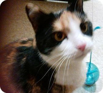 Calico Cat for adoption in Kalamazoo, Michigan - Molly