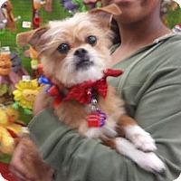 Adopt A Pet :: Simba - Encinitas, CA
