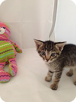Domestic Shorthair Kitten for adoption in Fountain Hills, Arizona - OLIVER