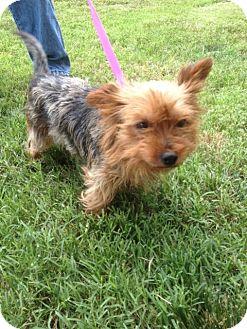 Yorkie, Yorkshire Terrier Mix Dog for adoption in Richmond, Virginia - Karla
