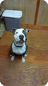 American Staffordshire Terrier Dog for adoption in Katy, Texas - Bandit