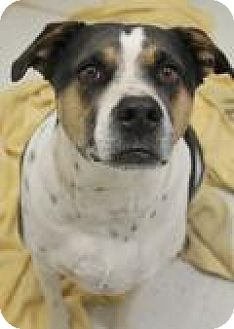 Hound (Unknown Type)/Rottweiler Mix Dog for adoption in Yukon, Oklahoma - Stetson