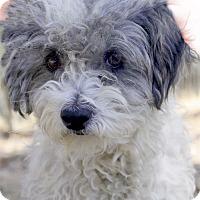 Adopt A Pet :: Izzabella super mellow - Sacramento, CA