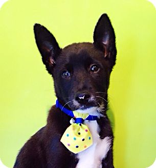 Labrador Retriever/Shepherd (Unknown Type) Mix Puppy for adoption in Castro Valley, California - Wilbur