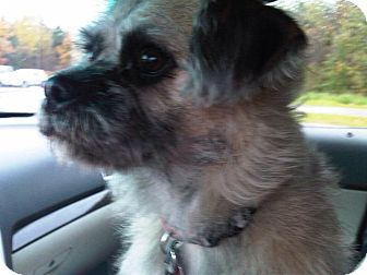 Schnauzer (Miniature)/Lhasa Apso Mix Dog for adoption in Peterborough, Ontario - George