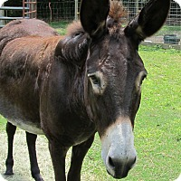 Donkey/Mule/Burro/Hinny for adoption in Cantonment, Florida - Maggie