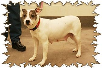 """American Staffordshire Terrier Mix Dog for adoption in Charlottesville, Virginia - Princess Grace """"Gracie"""""""