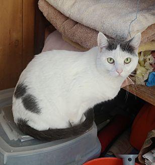 Domestic Shorthair Cat for adoption in San Pablo, California - ROSABELLE