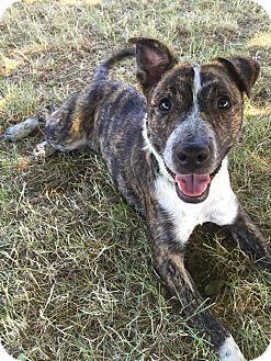 Blue Heeler/Australian Cattle Dog Mix Dog for adoption in Salem, Oregon - Brindy Lu