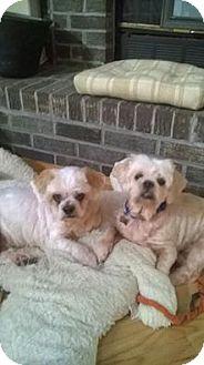 Shih Tzu Dog for adoption in Shallotte, North Carolina - Maggie & Judy