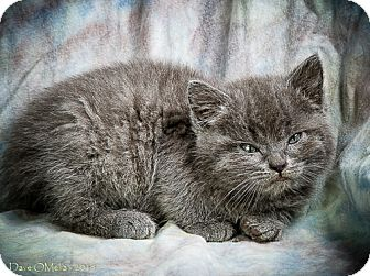 Domestic Shorthair Kitten for adoption in Anna, Illinois - LUCY