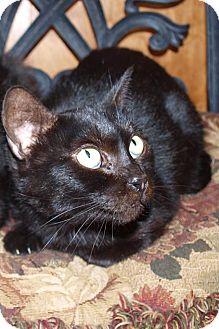 Domestic Shorthair Cat for adoption in Jackson, Mississippi - Ebony