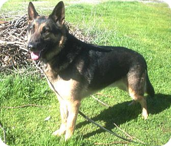 German Shepherd Dog Dog for adoption in Pleasant Grove, California - Dillon