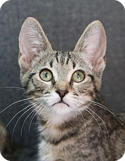 Domestic Shorthair Kitten for adoption in cupertino, California - Skakespeare ----  $50.00