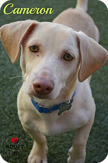 Dachshund/Beagle Mix Dog for adoption in Youngwood, Pennsylvania - Cameron