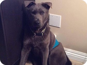 Jindo Mix Dog for adoption in Litchfield Park, Arizona - Smokey
