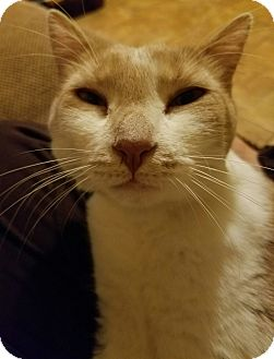 Domestic Shorthair Cat for adoption in Murdock, Florida - Picaso