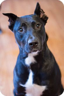 Labrador Retriever/Staffordshire Bull Terrier Mix Dog for adoption in Bowie, Maryland - Savannah (bonded to Jasna)