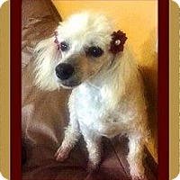 Adopt A Pet :: Gidget - Rancho Cucamonga, CA