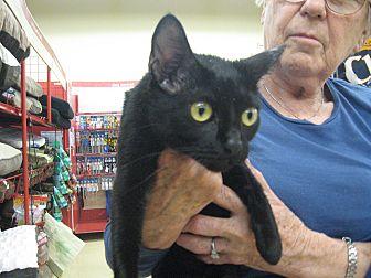 Bombay Kitten for adoption in New york, New York - 2 black Bombay kittens:
