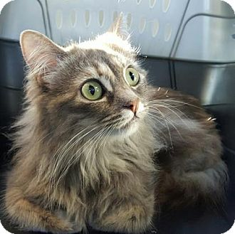 Domestic Longhair/Domestic Shorthair Mix Cat for adoption in Fresno CA, California - Felicity