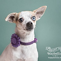 Chihuahua Mix Dog for adoption in Chandler, Arizona - Maybelline
