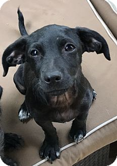 Terrier (Unknown Type, Small)/Chihuahua Mix Puppy for adoption in Seattle, Washington - A - AUSTIN