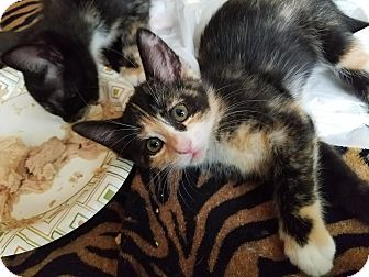 Domestic Shorthair Kitten for adoption in Gainesville, Florida - Ruby