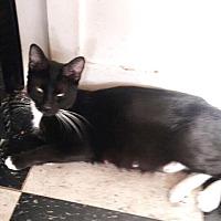 Adopt A Pet :: Sapphire - Sherman Oaks, CA