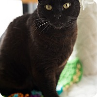 Domestic Shorthair Cat for adoption in Sherman Oaks, California - Gracie