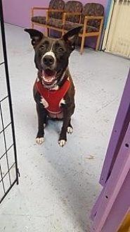 Labrador Retriever/Pit Bull Terrier Mix Dog for adoption in Walker, Louisiana - Pumpkin