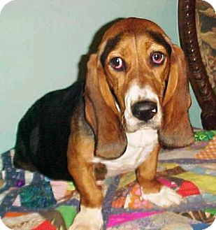 Basset Hound Dog for adoption in Cantonment, Florida - Isadora