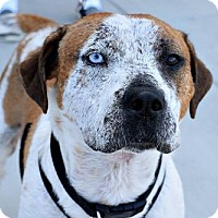 Catahoula Leopard Dog Mix Dog for adoption in Munford, Tennessee - Whistler