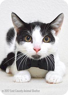 Domestic Shorthair Kitten for adoption in Dublin, California - Moo
